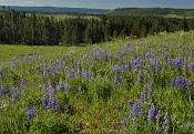 Wildflowers in summer - Yellowstone National Park