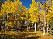 Quaking Aspens - Fall in Yellowstone National Park